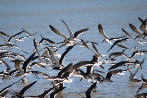 black skimmer flock flying