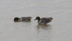 Green Wing Teal